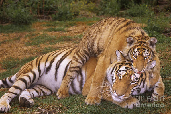 Photograph - Siberian Tigers Parenting Is A Challenge by Dave Welling