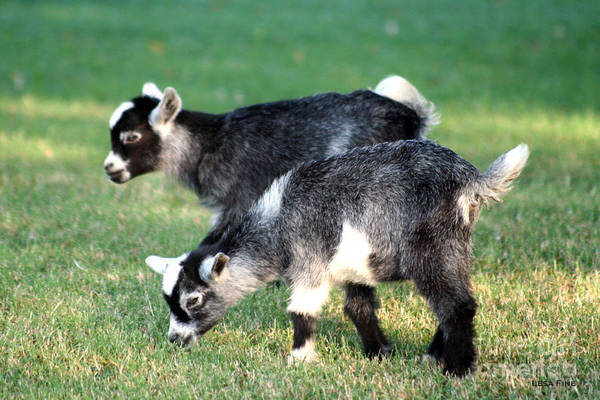 Photograph - Sibling Goats by Lesa Fine