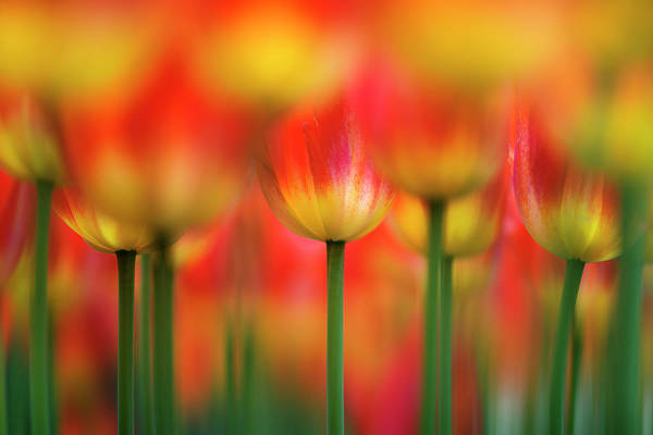 Tulip Flower Photograph - Side By Side by Takashi Suzuki