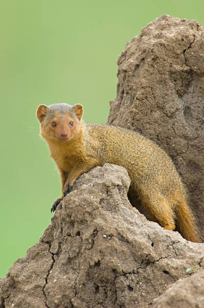 Tarangire Photograph - Side Profile Of A Dwarf Mongoose by Panoramic Images