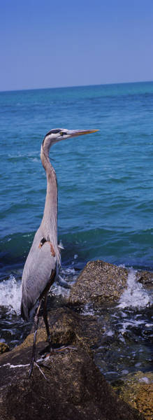 Wall Art - Photograph - Side Profile Of A Great Blue Heron by Animal Images