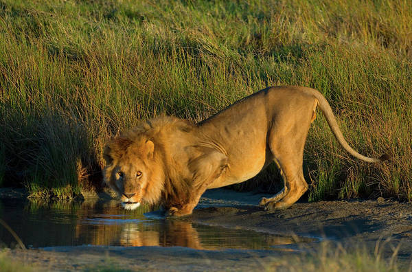 Animal Behavior Photograph - Side Profile Of A Lion Drinking Water by Animal Images