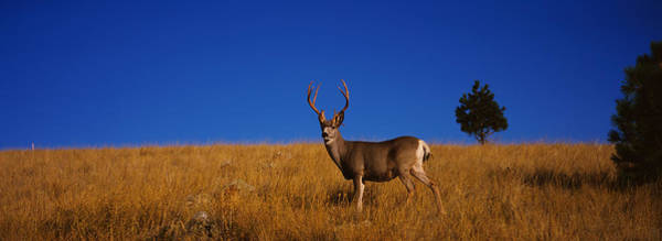Mule Deer Photograph - Side Profile Of A Mule Deer Standing by Panoramic Images