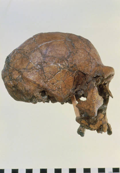 Wall Art - Photograph - Side View Of Skull Of Homo Erectus (knm-er 3733) by John Reader/science Photo Library