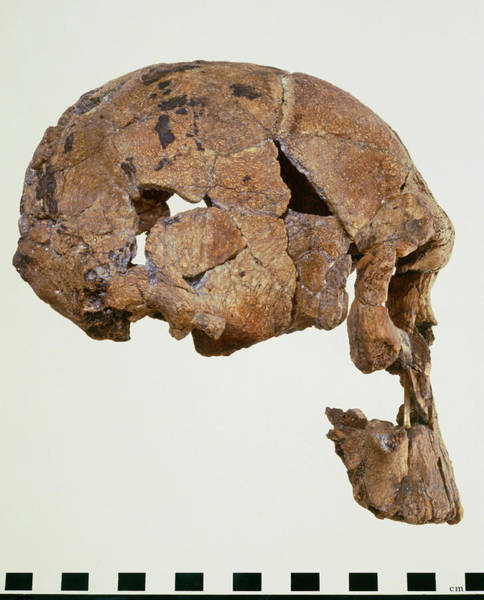 Er Photograph - Side View Of Skull Of Homo Habilis (knm-er 1470) by John Reader/science Photo Library