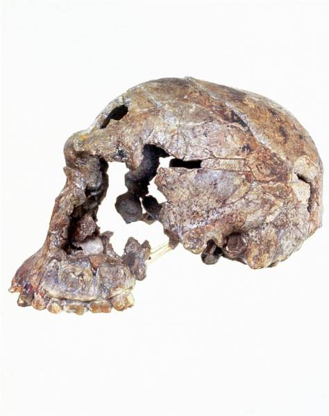 Er Photograph - Side View Of Skull Of Homo Habilis (knm-er 1813) by John Reader/science Photo Library