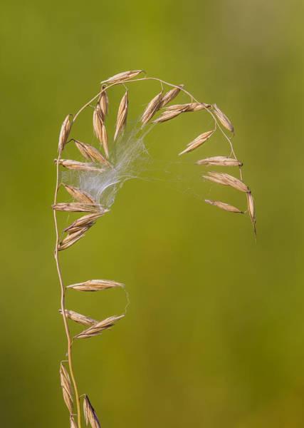 Photograph - Sideoats Grama Bent By Spider by Steven Schwartzman