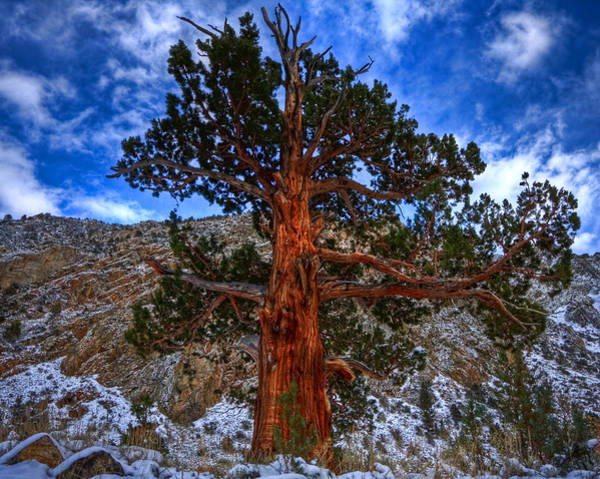 Photograph - Sierra Pine by Beth Sargent