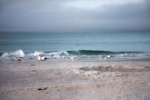 Key West Photograph - Siesta Key Morning Gulls by Betsy Knapp