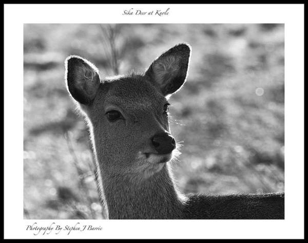 Photograph - Sika Deer At Knole by Stephen Barrie