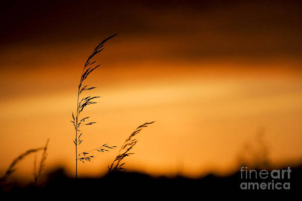 Seed Head Wall Art - Photograph - Silhouette Grasses  by Tim Gainey