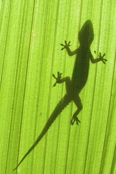 Fronds Photograph - Silhouette Of A Gecko On A Palm Frond. by Scubazoo