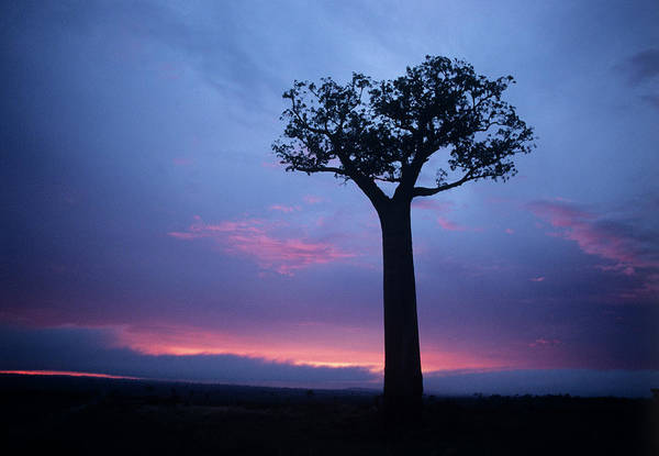 Madagascar Photograph - Silhouette Of A Tree by Sinclair Stammers/science Photo Library
