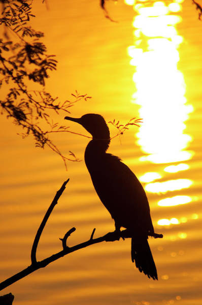 Cormorant Wall Art - Photograph - Silhouette Of An Indian Cormorant by Inger Hogstrom