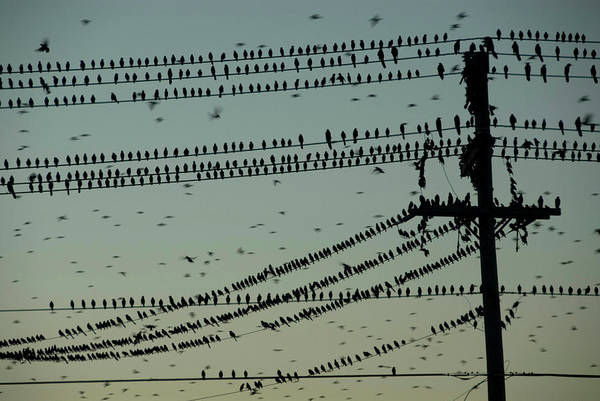 Wing Back Wall Art - Photograph - Silhouette Of Birds Gathering On Wires by Arthur Meyerson