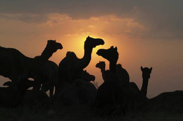 0e35c98793 Pushkar Camel Fair Wall Art - Photograph - Silhouette Of Camels In The  Desert by Keren