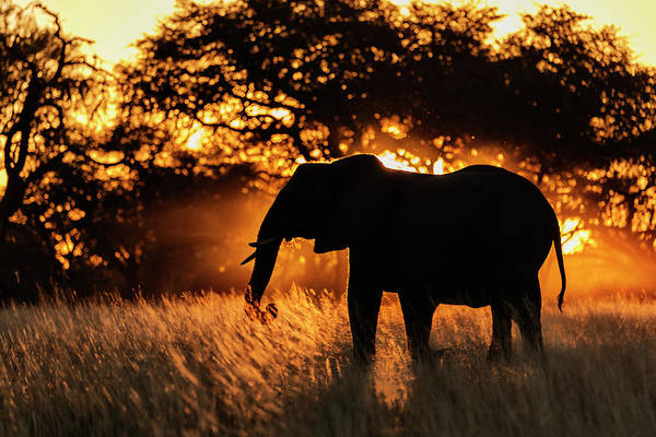 Savannah Photograph - Silhouette Of Elephant In Tall Grass by Pixelchrome Inc