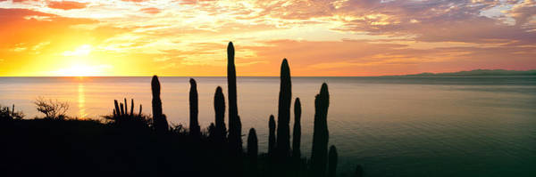 Baja California Peninsula Wall Art - Photograph - Silhouette Of Pitaya Cactus by Panoramic Images