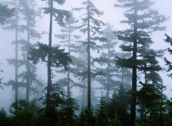 Hemlock Photograph - Silhouette Of Trees With Fog by Panoramic Images