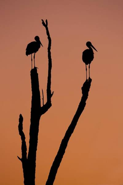 Silhouette Of Two Storks Art Print