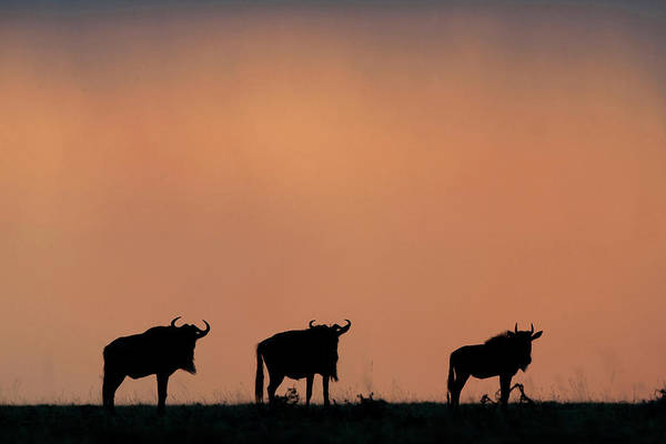 Silhouette Photograph - Silhouette Of Wildebeests Standing by Christopher Scott