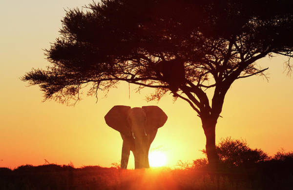 Silhouette Photograph - Silhouetted African Elephant At Sunset by Lost Horizon Images
