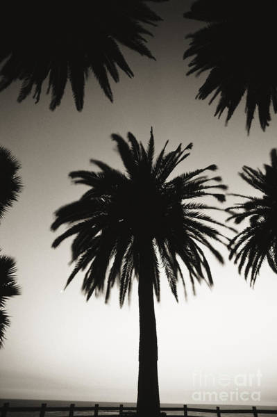 Wall Art - Photograph - Silhouetted Palm Tree Centered Between Other Palm Tree Tops At Dusk _black And White Photograph_ by Robert Sablan