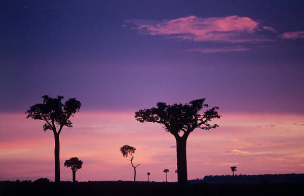 Madagascar Photograph - Silhouetted Trees by Sinclair Stammers/science Photo Library