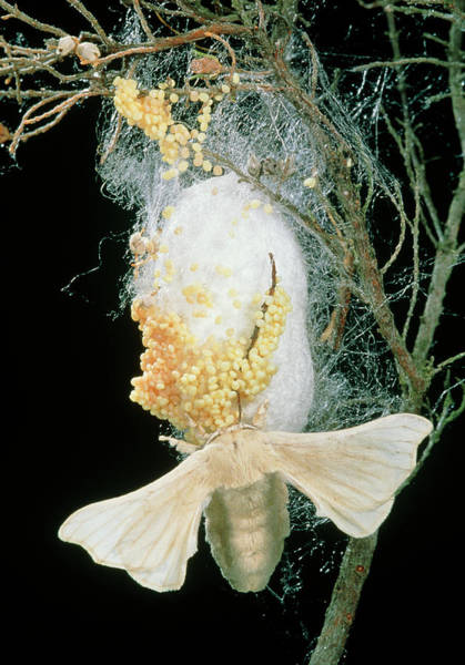Laying Photograph - Silk Moth (bombyx Mori) Laying Eggs On A Cocoon by Pascal Goetgheluck/science Photo Library
