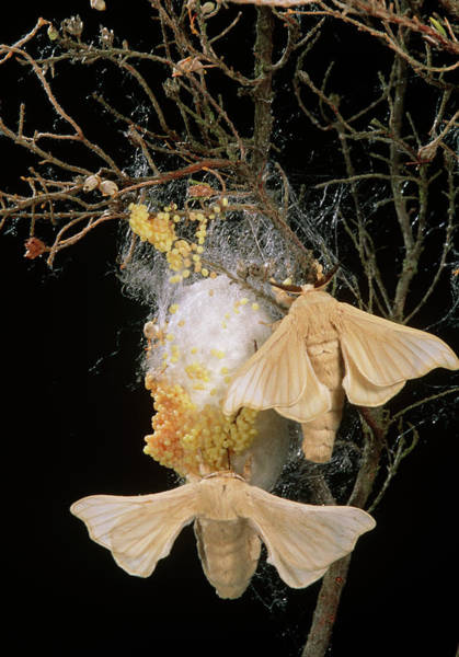 Laying Photograph - Silk Moths (bombyx Mori) Laying Eggs On A Cocoon by Pascal Goetgheluck/science Photo Library