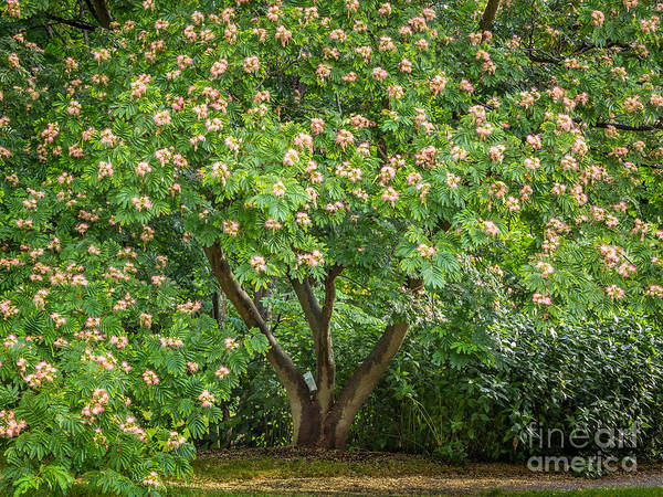 Photograph - Silk Tree In Bloom by Susan Cole Kelly
