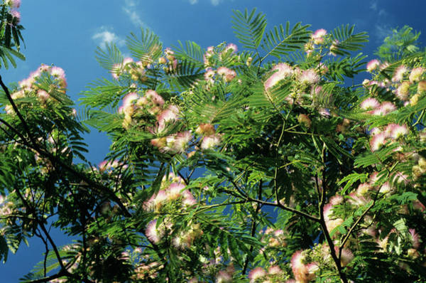 Mimosas Photograph - Silk Tree by M F Merlet/science Photo Library