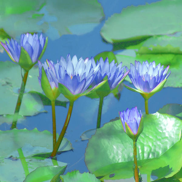 Water Lilies Photograph - Silken Lilies by Holly Kempe