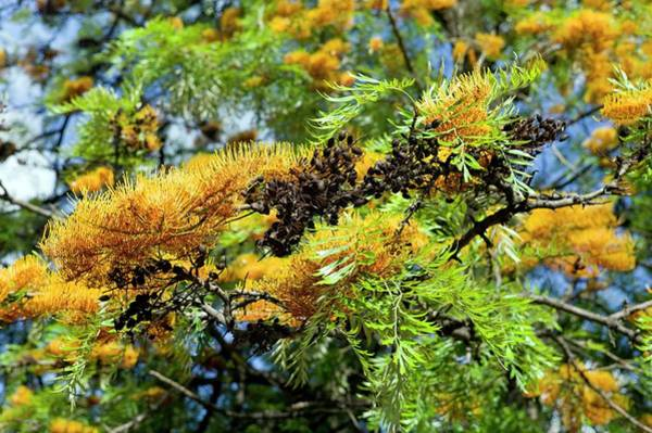 Proteaceae Photograph - Silky Oak (grevillea Robusta) by Dr Jeremy Burgess/science Photo Library