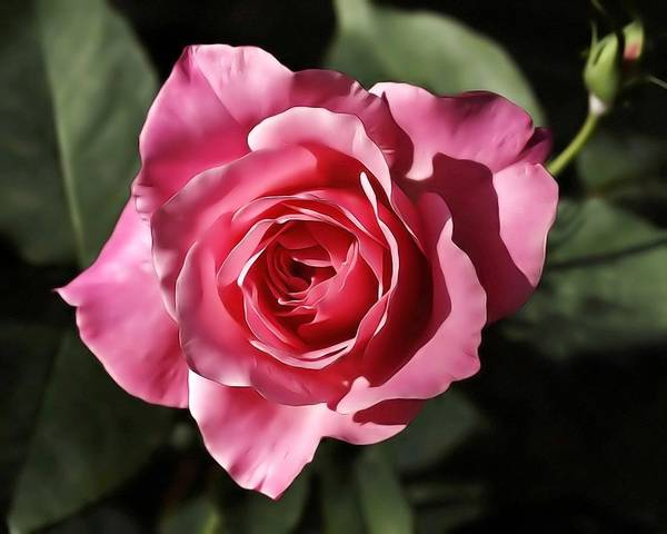 Photograph - Silky Rose by Wayne Wood