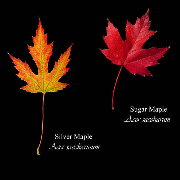 Acer Saccharum Photograph - Silver And Sugar Maple Leaves by Russell Shively
