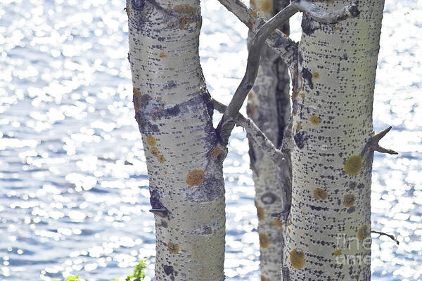 Silver Birch Trees At A Sunny Lake Art Print