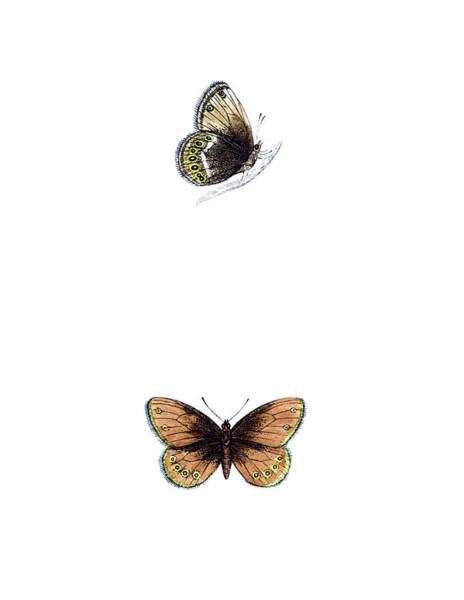 White Butterfly Digital Art - Silver Bordered Ringlet - Hand Coloured by Andrew howe