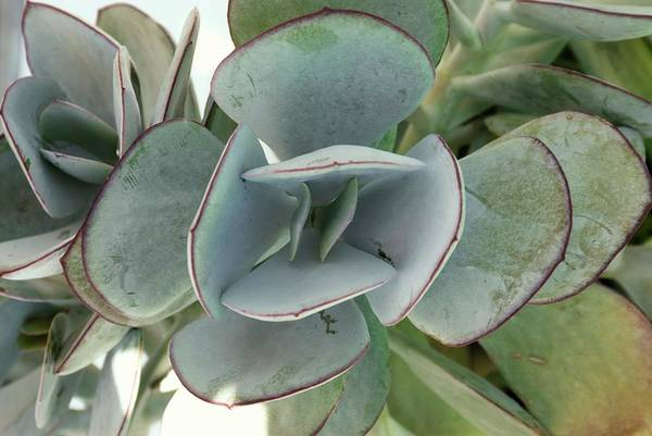One Dollar Photograph - Silver Dollar (crassula Arborescens) by Adrian Thomas
