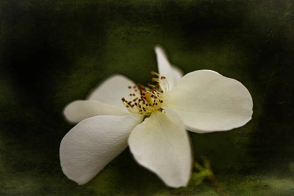 Photograph - Silver Ghost Rose. by Clare Bambers