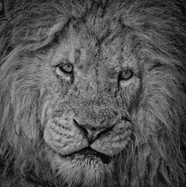 Silver Lion Art Print
