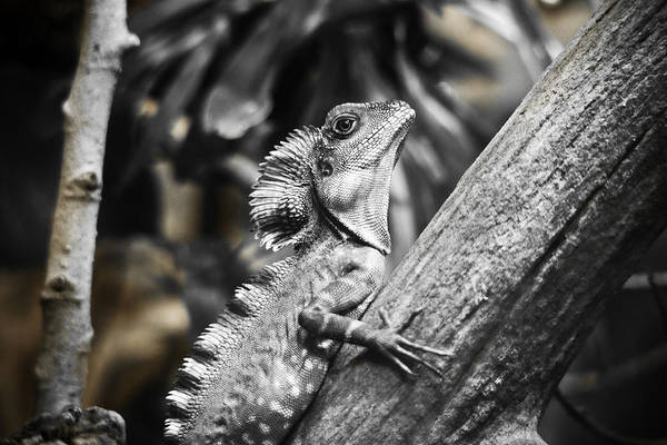 Photograph - Silver Lizard by Marilyn Hunt