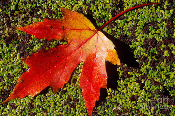 Photograph - Silver Maple Leaf by William H. Mullins