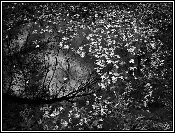 Photograph - Silver Maple Reflection Monochrome by Wayne King