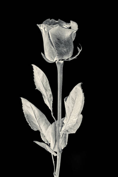 Photograph - Silver Rose by Adam Romanowicz
