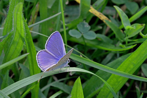 Photograph - Silver Studded Blue Butterfly by Tony Murtagh
