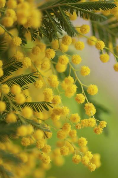 Mimosas Photograph - Silver Wattle (acacia Dealbata) In Flower by Maria Mosolova/science Photo Library