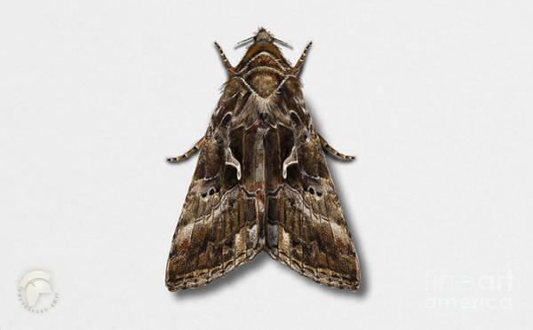 Painting - Silver Y - Gamma Moth - Autographa Gamma - Noctuelle Gamma - Le Gamma - La Plusia - Gammafly  by Urft Valley Art