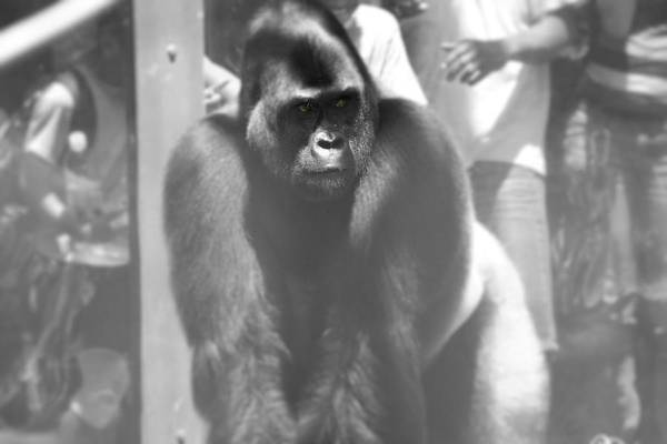 Photograph - Silverback Gorilla In The Zoo by Dan Sproul