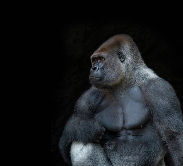 Tenerife Photograph - Silverback Gorilla Portrait In Profile by Haydn Bartlett Photography
